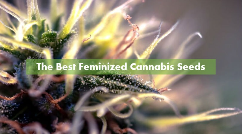 The Best Feminized Cannabis Seeds