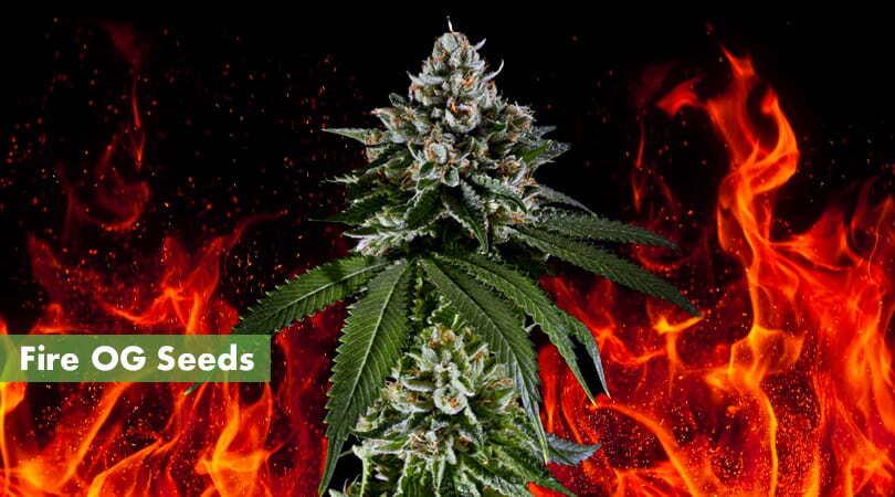 Fire OG Seeds Cover Photo