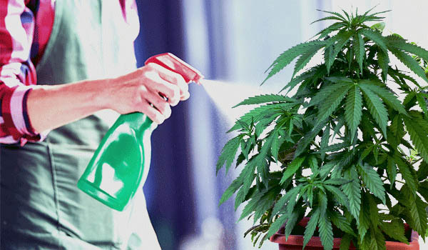 Foliar feeding Cannabis Plants