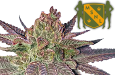 Fruity Pebbles Feminized Seeds MSNL