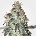 GSC Seeds MSNL