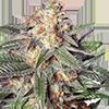 Gelato Auto Feminized Cannabis Seeds