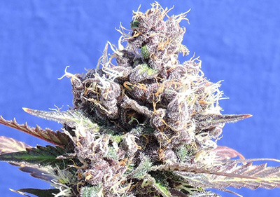 Gelato High THC Feminized Seeds