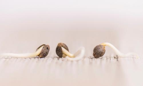 Germinate Feminized Cannabis Seeds
