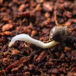 The Germination Stage of Cannabis Seed