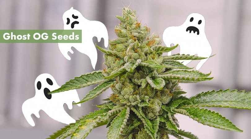 Ghost OG Seeds Cover Photo