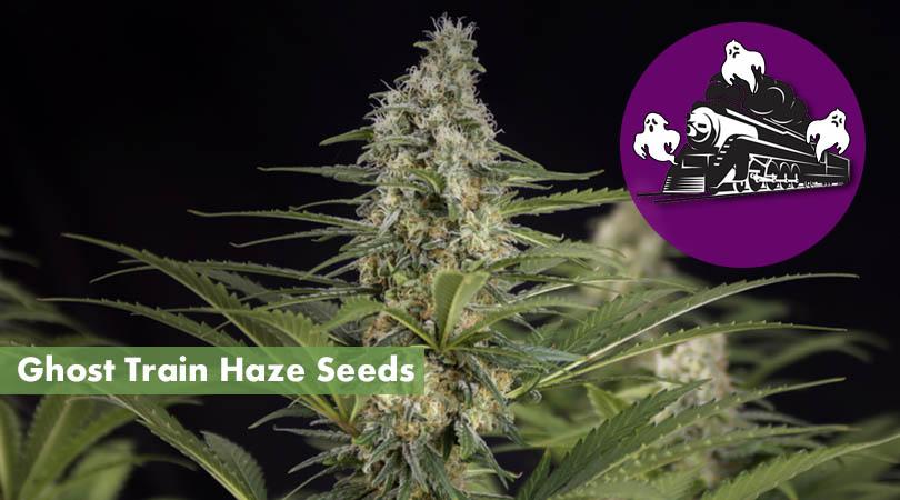 Ghost Train Haze Seeds Main Cover Photo