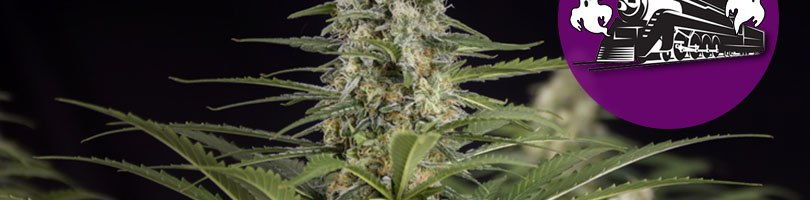 Ghost Train Haze Seeds Featured Image