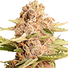 Girl Scout Cookies Extreme Cannabis Seeds