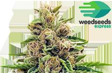 Godfather OG Feminized Seeds WeedSeedsExpress