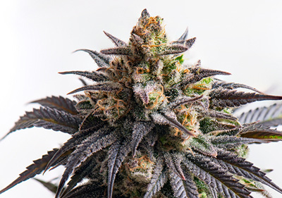 Godfather OG High THC Feminized Seeds