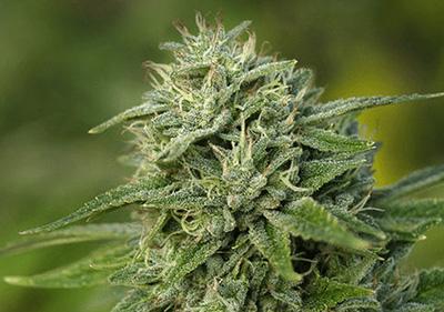 Gorilla Glue #4 High THC Feminized Seeds