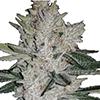Gorilla Glue Autoflower Cannabis Seeds