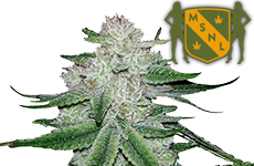 Gorilla Glue Feminized Seeds MSNL