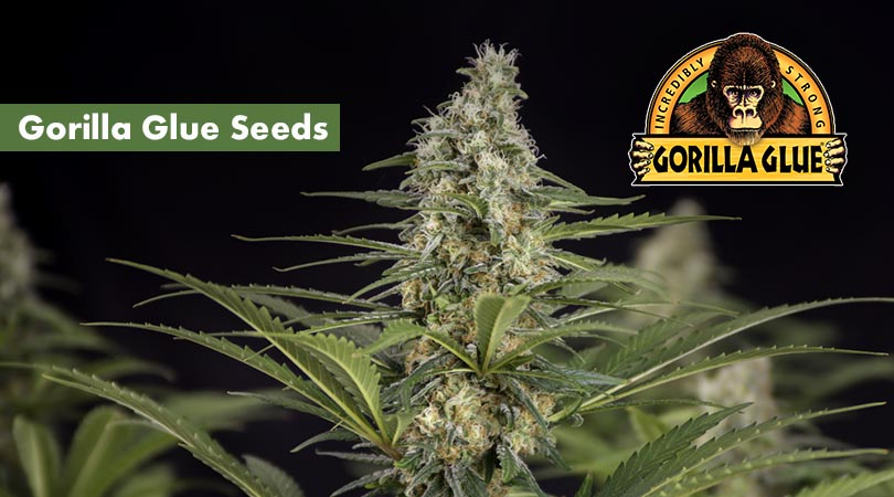 Gorilla glue Seeds Main Photo