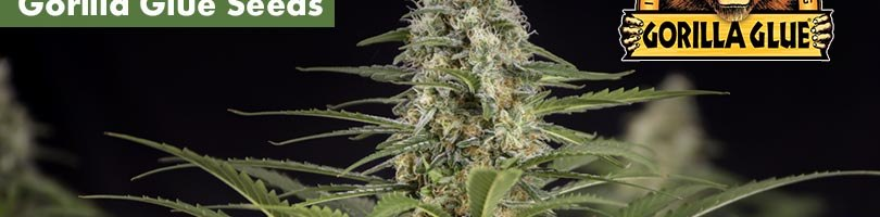 Gorilla Glue seeds Featured Image