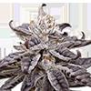 Grandaddy Purple Auto Cannabis Seeds