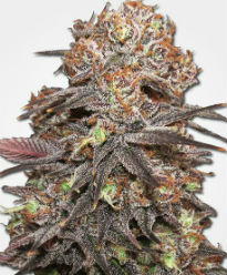 Grandaddy Purps Feminized Seeds