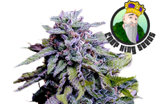Granddaddy Purple Feminized Seeds CKS