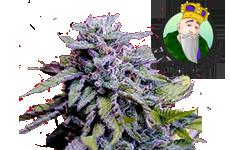 Granddaddy Purple Feminized Seeds CKS