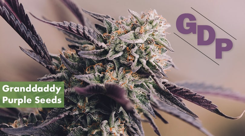 Granddaddy Purple Seeds Cover Photo