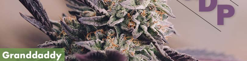 Granddaddy Purple Seeds Featured Image