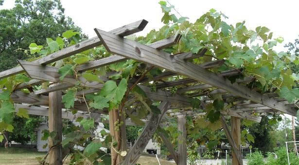 Grape Vine Training