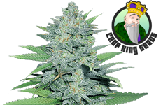 Green Crack Feminized Seeds CKS