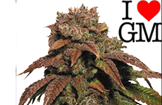 Green Crack Feminized Seeds ILGM