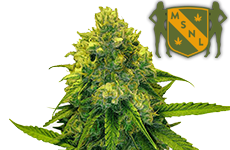 Green Crack Feminized Seeds MSNL