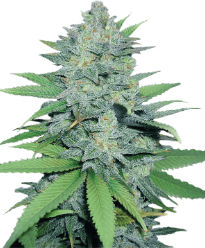 Green Crack - Crop King Seeds
