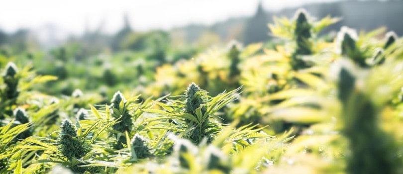 Outdoor Marijuana Field