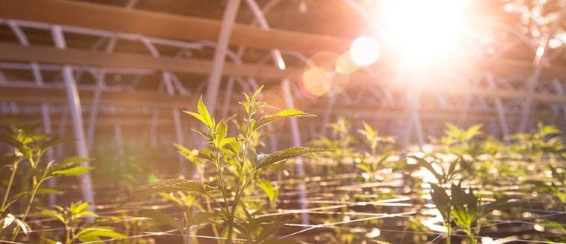 Outdoor marijuana plants in a greenhouse