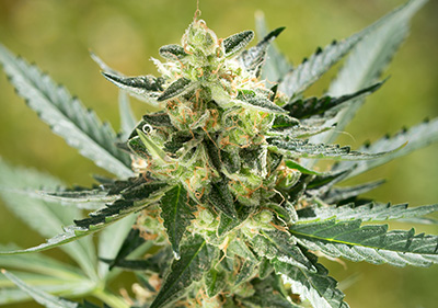 Harlequin Feminized CBD Seeds