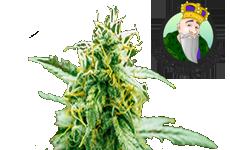 Harlequin Feminized Seeds Crop King Seeds