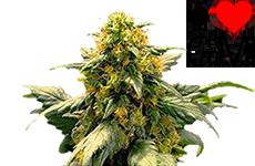 Harlequin Feminized Seeds ILGM