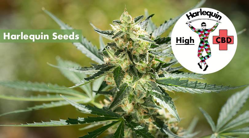 Harlequin Seeds Main Photo