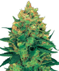 Hash Plant - Crop King Seeds
