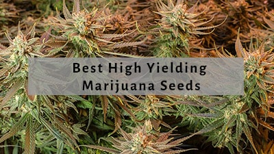 Best High Yielding Seeds