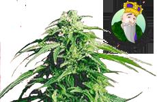 Hindu Kush Feminized Seeds Crop King Seeds
