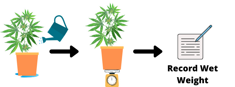 How to Check When To Water Cannabis Plants 2