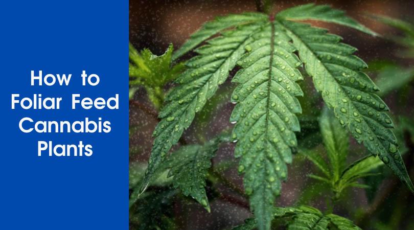 How to Foliar Feed Cannabis Plants Cover Photo