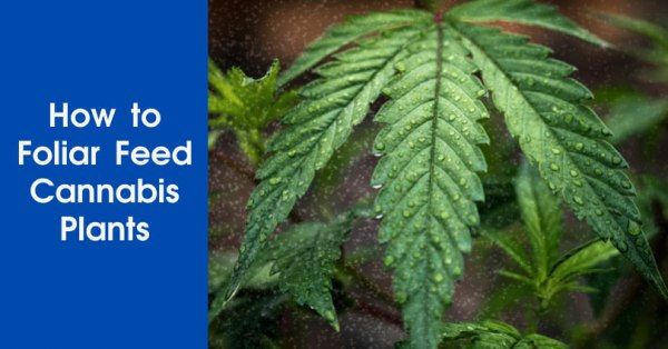 How to Foliar Feed Cannabis Plants Featured Image