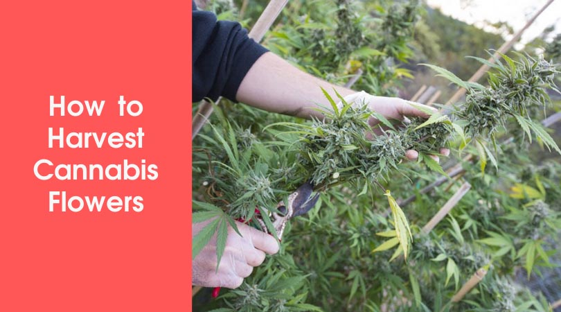 How to Harvest Cannabis Flowers Cover Photo
