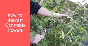 How to Harvest Cannabis Flowers Featured Image