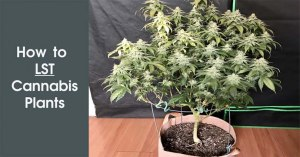 How to LST Cannabis Plants Featured Image
