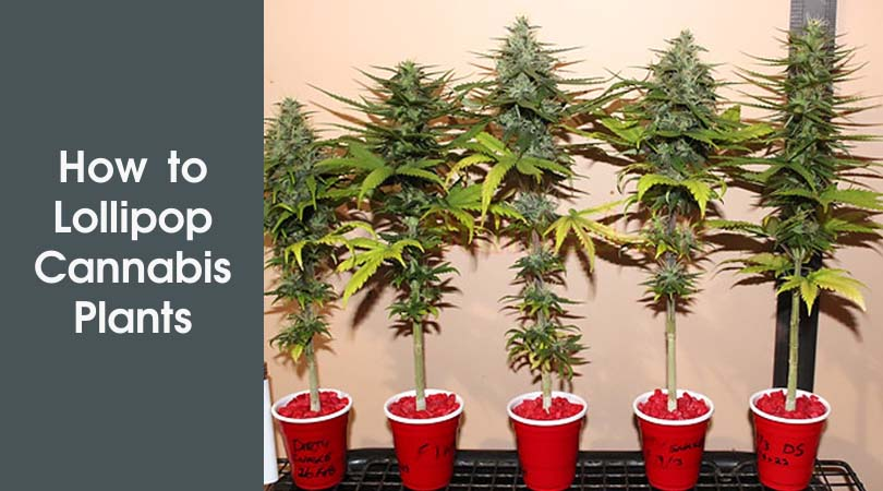 How to Lollipop Cannabis Plants Cover Photo