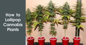 How to Lollipop Cannabis Plants Featured Image