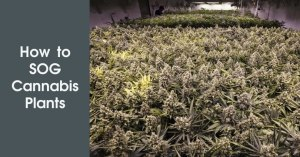 How to SOG Cannabis Plants Featured Image