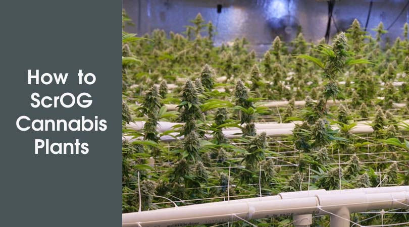 How to ScrOG Cannabis Plants Cover Photo